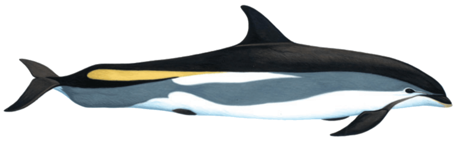 Atlantic white sided dolphin illustration by Martin Camm