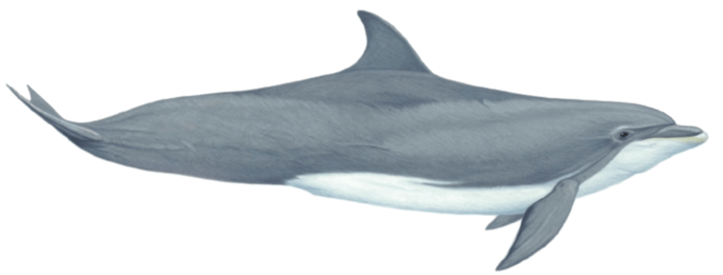 Bottlenose dolphin illustration by Martin Camm