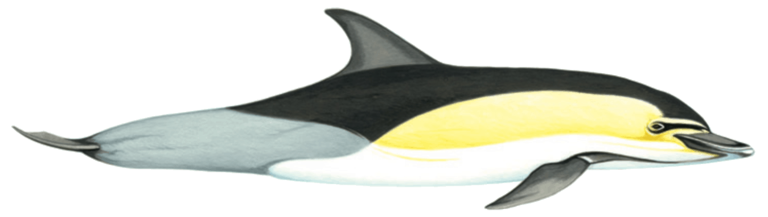 Short beaked common dolphin illustration by Martin Camm