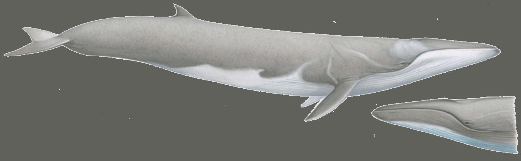 Fin whale illsustration