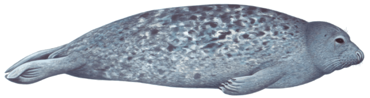 grey seal illustration
