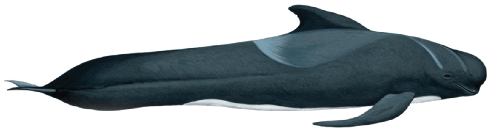 Long finned pilot whale illustration by Martin Camm