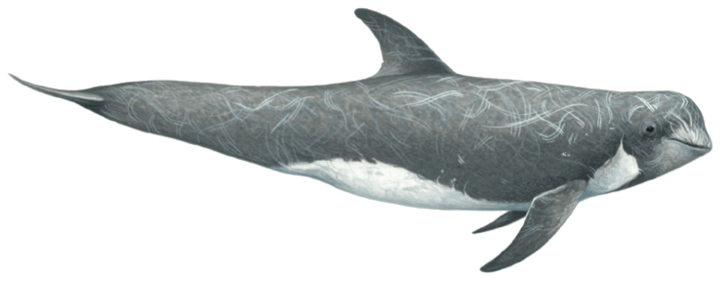 Risso's dolphin illustration by Martin Camm