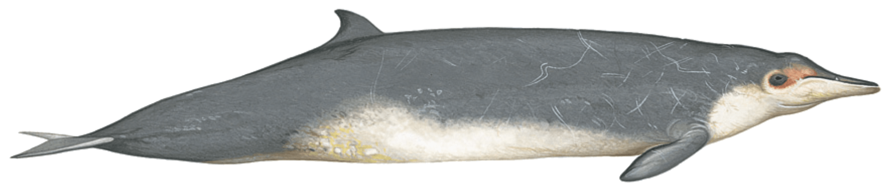 sowerbys beaked whale illustration by Martin Camm